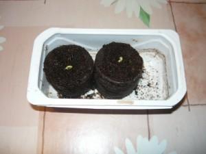 19 апреля, появление ростков дыни