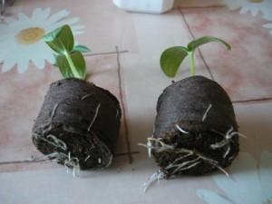 25 апреля. появление корней дыни за пределами торфяных таблеток