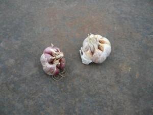 Вызревшие головки чеснока