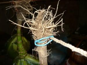 Крепление капусты за корневище к веревке