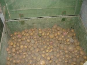 Засыпанные на хранение клубни картофеля