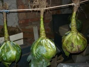 Вид на подвешенную для хранения капусты