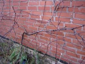 Освобожденная виноградная лоза от подвязок на шпалеры