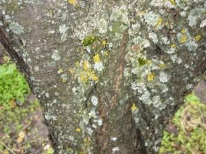 Пораженная кора вишни различными видами лишайников
