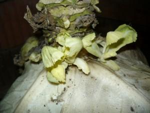 Прорастание молодых побегов на кочерыжке капусты