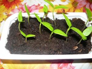 Всхожесть семян баклажанов покупных 10 из 10