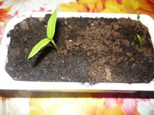 Всхожесть семян баклажанов собственных 3 из 10
