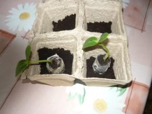 Вид на саженцы огурцов в таблетках при посадке в торфяные горшки
