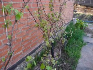 Появление первых листьев на виноградной лозе