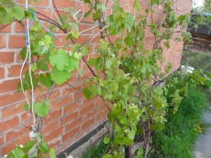 Вид на распустившийся виноград