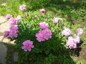 Цветущие пионы в начале июня