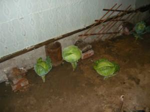 Вид на кочаны капусты выращенные в комнате дачного домика