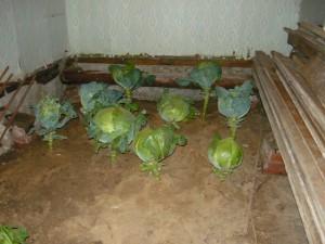 Посадка кочанов капусты для хранения до появления морозов