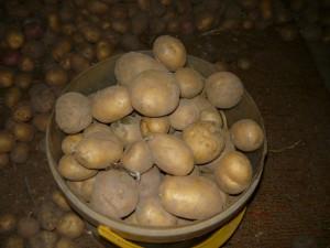 Картофель, выбранный на зимнее хранение