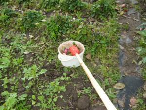 Сбрасывание яблока из плодосъемника в ведро: