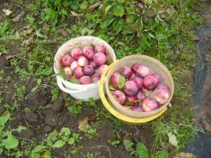 Два ведра со снятыми яблоками