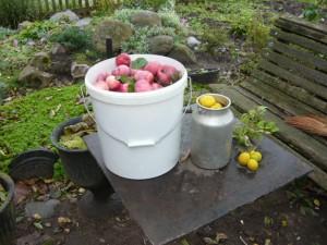 Дары Осени. Снятые плоды яблони и хеномелиса