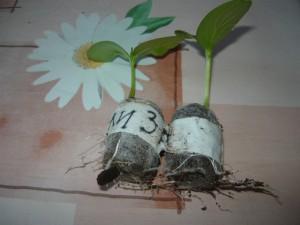 Корни огурцов в таблетках,  25 апреля